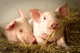 Fototapety Pigs in a barn I