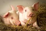 Fototapety Pigs in a barn I