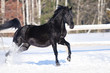 Black horse portrait in motion on the snow