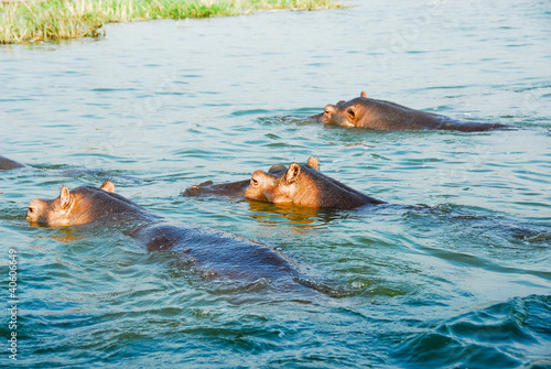 Hippo, Kazinga Channel , Queen Elizabeth National Park, Uganda