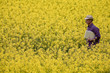 Farmer in a rape field