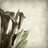 textured old paper background with darl purple calla lilies poster