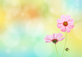 Fototapety Cosmos flowers with spring background