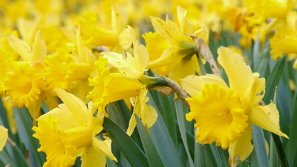 Close-up of yellow daffodil flowers swaying in wind
