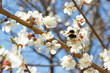 bumble bee in blossoming cherry tree