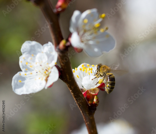 bee in blossoming cherry tree