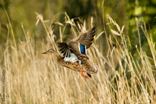 Flying female duck