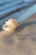 Strandgut, Sommerabend am Meer, Tonna Allium , Meeresschnecke