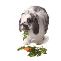 Cute Bunny Rabbit eating Greens and Carrot On white