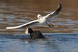 Black-headed Gull vs eurasian coot. Fight for food