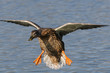 female wild duck landing on water