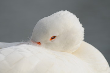 white goose in relax