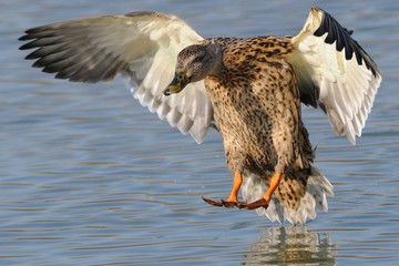 beautiful mallard landing on water