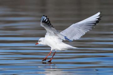 seagull landing on water