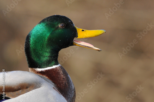 mallard portrait and wide open beak