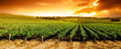 canvas print picture Sunset Vineyard Panorama