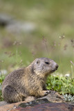 puppy alpine marmot