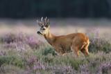 a roe deer in a field of header