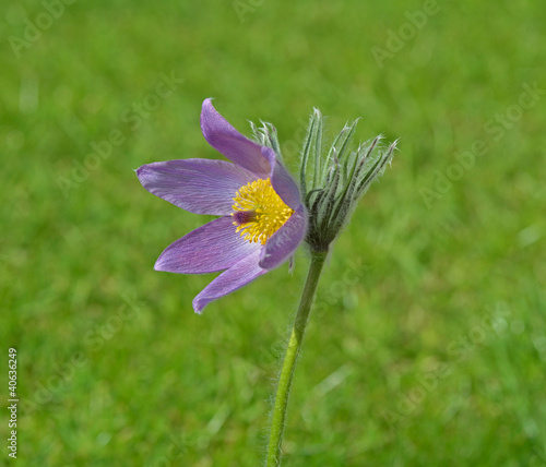 Pasque Flower in meadow