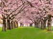 Fototapeten,garten,park,kirschbaumblüten,hübsch