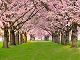 Fototapete Kirschbaumblüten - Hübsch - Garten