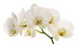 Fototapeten,orchid,blume,weiß,verzweigt