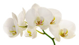 white orchid - 40638802