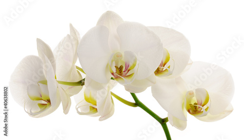 Fototapeten,orchidee,blume,weiß,verzweigt