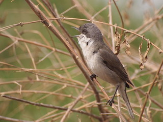 Lesser Whitethroat singing on the branch, Sylvia curruca