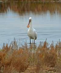 spoonbill showing oneself in the marsh