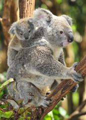Australian Koala Bear with her baby, Sydney, Australia grey bear