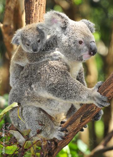 Fototapeten,tier,aussie,australien,baby