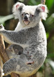 Australian Koala Bear in eucalyptus tree , Sydney, Australia