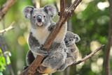 Fototapety Australian Koala Bear with her baby, Sydney, Australia grey bear