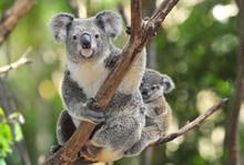 "Постер, картина, фотообои ""Australian Koala Bear with her baby, Sydney, Australia grey bear"""