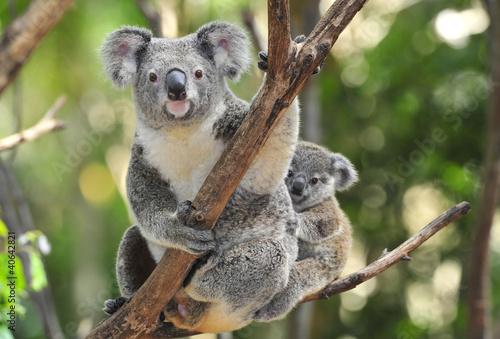 Zdjęcia na płótnie, fototapety na wymiar, obrazy na ścianę : Australian Koala Bear with her baby, Sydney, Australia grey bear