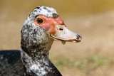 Young Muscovy Duck