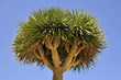 Closeup Canary Islands Dragon Tree (Dracaena draco) at Tenerife