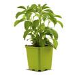 stevia en pot ou godet fond blanc