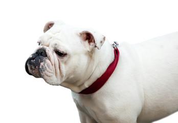 Bulldog inglese