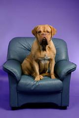 Dogue De Bordeaux on the armchair