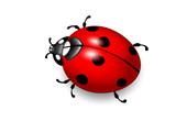 Ladybird. Vector eps10 illustration of ladybug on white