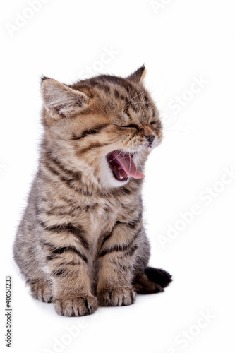 The striped kitten yawns