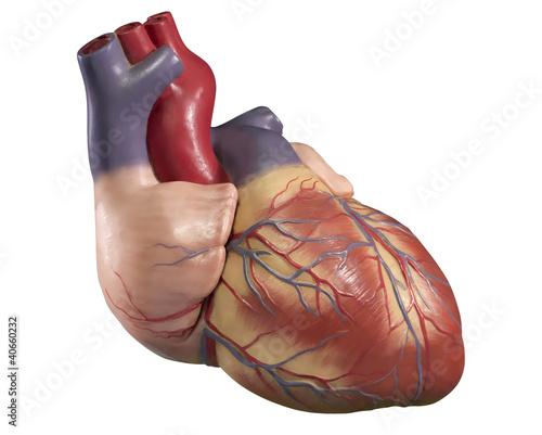 Herzmodell auf weiss
