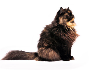 Persian tortie cat on the white background