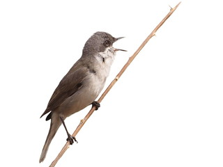 Lesser Whitethroat  isolated on white background