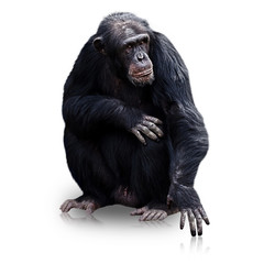 gorilla isolated on white background