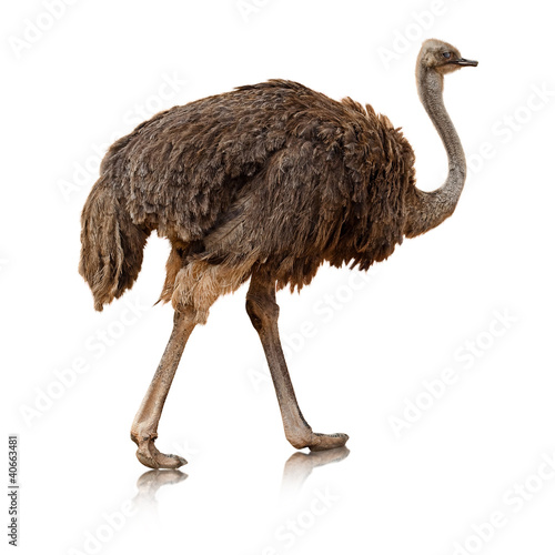 ostrich isolated on a white background