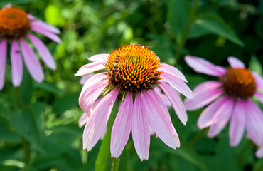 Pink Echinacea flowers on green nature background