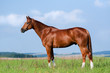 Chestnut Bavarian horse standing in meadow.